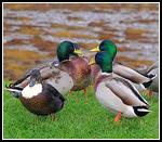 Ducks in Conversation Mode