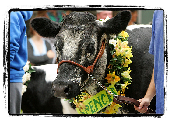 Strolling of the Heifers 2008 — Spencer the Cow