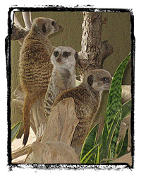 Meerkats at the Metro Toronto Zoo