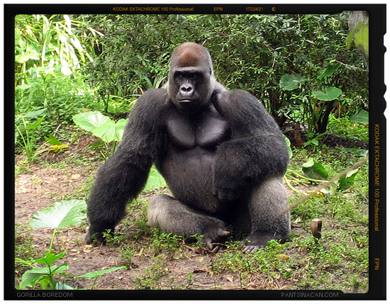 A Really Bored Gorilla at Disney's Animal Kingdom